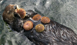 Otters dine on sea urchins along California's coast.