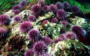 Red and Purple sea urchins in California's coastal waters.