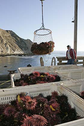 "Sea urchins are unloaded from the fishing boat ""Chilly Willy."" Photo by Michael Maloney, S.F. Francisco Chronicle"