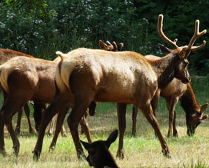 A small herd of Roosevelt elk now lives in the Sinkyone Wilderness. Photo by Paul McHugh.