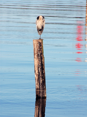 Great Blue Heron resting between hunting ventures. Photo by D. A. Levy.