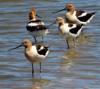 Avocets at Cullinan Ranch.